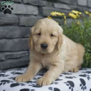 golden retriever puppies albany ny golden retriever breeders near syracuse ny dogs in our photo