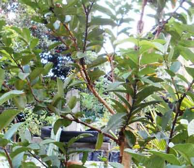 Tanaman Sereh Wangi Pohon Herbal Sereh Wangi Sereh Merah aneka tanaman sekitar rumah berkhasiat obat daun ijo