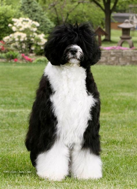 pwd puppies portuguese water dogs portuguese water for sale breeds picture