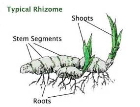 what are plants with rhizomes