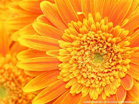 flowers wallpapers orange flowers wallpapers
