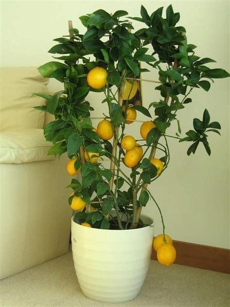 home decor indoor lemon trees  piece