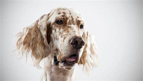 english setter pointer dog breeds image gallery setter breeds