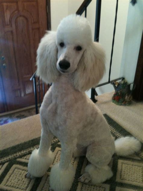 pictures of poodle haircuts 1000 images about dog haircuts on pinterest toy poodles
