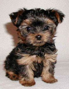 puppies that stay small for sale best 25 small dogs for sale ideas on tiny dogs for sale small puppies