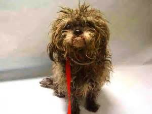 shih tzu row teeth a1069540 help us save nyc ac c shelter dogs