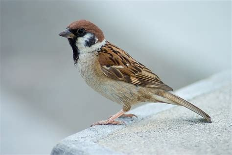 eurasian tree sparrow wikipedia