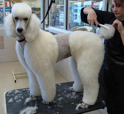 cutting a poodle terriers hair another way to cut a poodle is to have all of the hair the