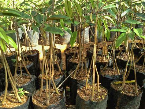 Bibit Durian Bawor Di Lung cara membuat bibit durian bawor belajar berkebun