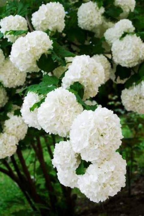 Kalina Puff snowball bush viburnum plant macrocephalum sterile