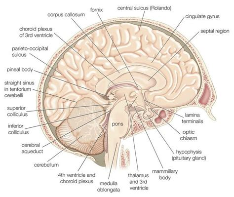 the human frontal lobes third edition functions and disorders science and practice of neuropsychology books 25 best ideas about frontal lobe on brain