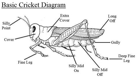 cricket anatomy diagram a simple diagram to help anyone struggling to understand