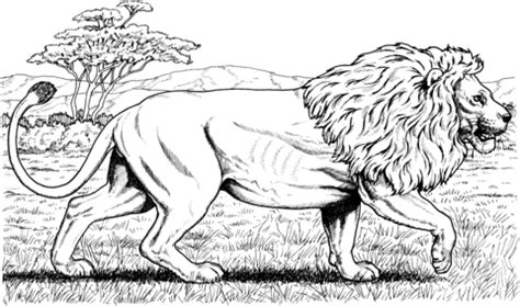 african lion coloring pages walking african lion coloring page supercoloring com