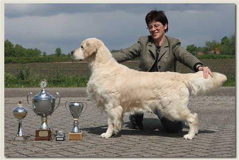 standfast golden retriever pedigree database golden retriever z kostrowego grodu