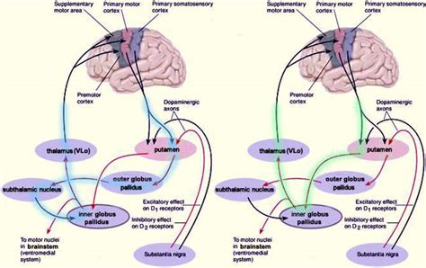 11 schematic wiring diagram of the basal ganglia a