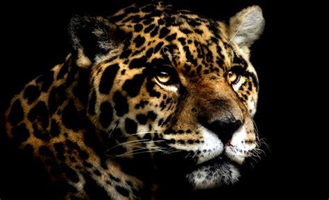 jaguar hd photos jaguar wallpaper wallpapers desktop