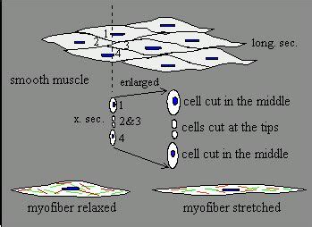 striated cell diagram 17 best images about blood on disease