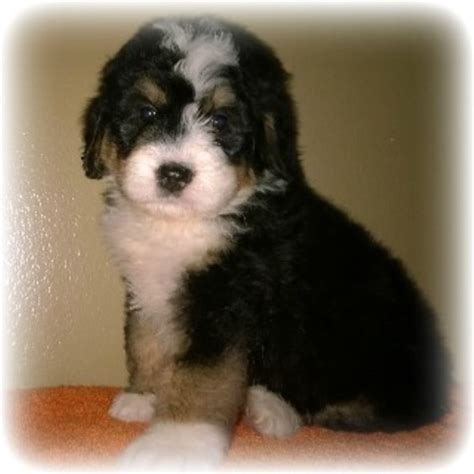 free puppies in arkansas bernedoodle babies bernese mountain breeder in greenbrier arkansas listing id