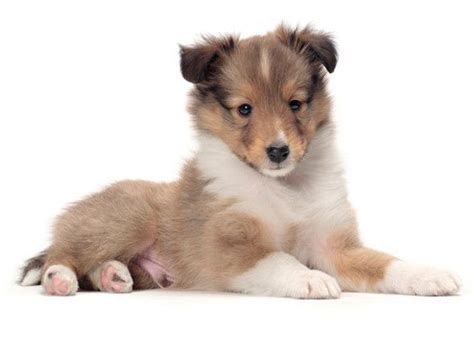 Do Sheltie Dogs Shed by 1000 Ideas About Non Shedding Dogs On