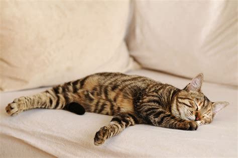 cat on a couch your kitty could be benefit form a more healthy lifestyle