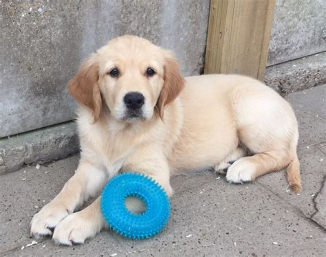 golden retriever puppies for sale uk pedigree golden retriever puppies for sale sittingbourne kent pets4homes
