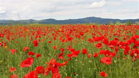 gorgeous red poppy flower field mountain village stock