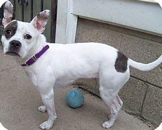 boston terrier puppies michigan 17 best images about boston terrier mixed on adoption terrier and