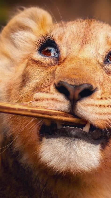 wallpaper lion funny animals  animals