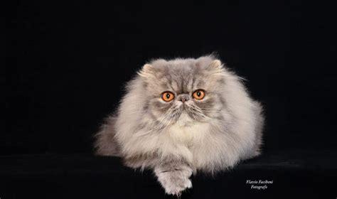 foto dei gatti persiani gatto persiano carattere cure e prezzo miciogatto it