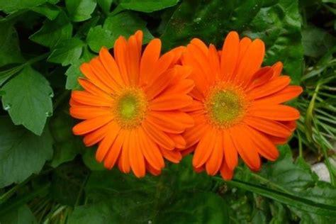 fiore gerbera gerbera gerbera jamesonii piante da interno gerbera