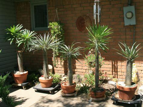 grow  care   madagascar palm world