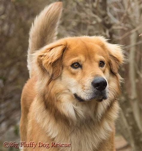 golden retriever half husky 63 best golden husky mix cutest images on