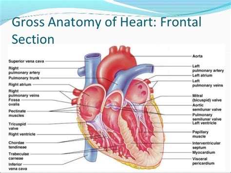 frontal section of the heart human anatomy the heart anatomy diagram worksheet gross