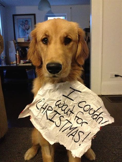 golden retriever pancreatitis 17 best images about the best of shaming on pets puppys and shaming