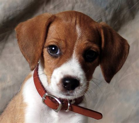 beagle mix puppy 1000 images about animals on spaniels springer spaniels and
