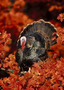 wild turkey for thanksgiving 301 moved permanently