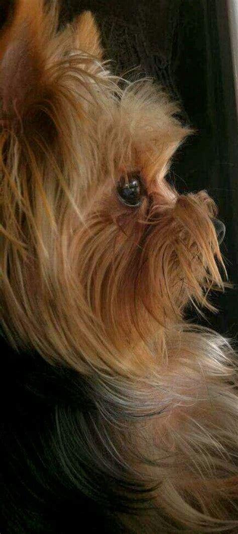 yorkie splash and shine uk meer dan 1000 afbeeldingen yorkie puppy names for and boys op