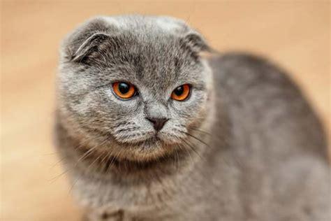 Scottish fold cat   breed of cat   Britannica.com