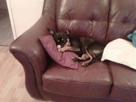 rottweiler care needs staffie x rottweiler needs foster care or home west bromwich west midlands pets4homes