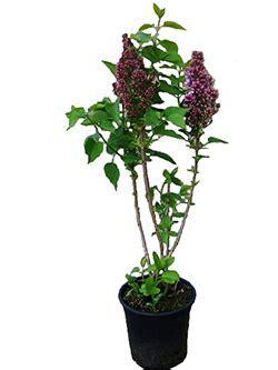 plants     piccoplant