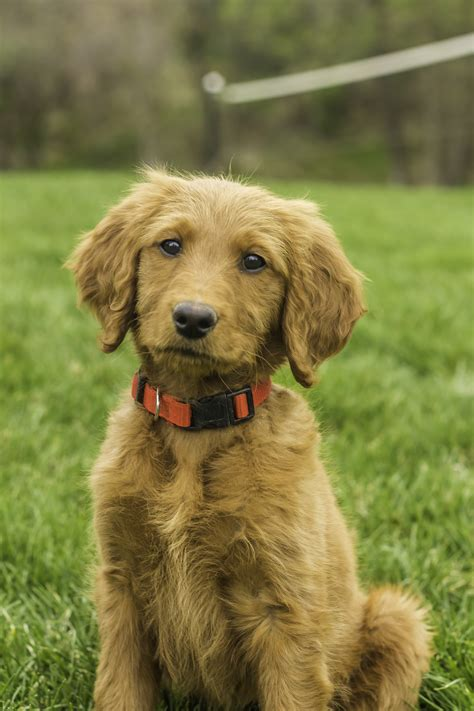goldendoodle names goldendoodle puppy placed