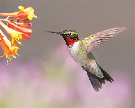 when can you see hummingbirds in your area mccnsulting