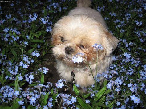 shih tzu muzzles muzzle shih tzu 1001doggy