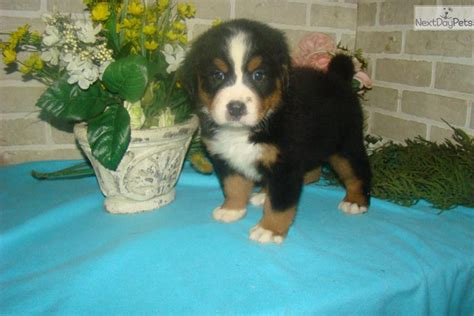 bernese mountain puppies for sale in ohio buddy bernese mountain puppy for sale near cleveland ohio 0ba58a89 7b51