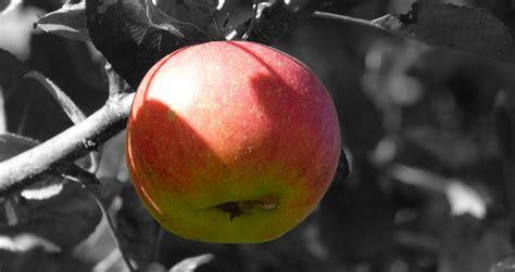 wann sind honigmelonen reif wann sind 196 pfel reif mundraub org