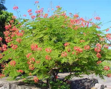 Garden Poinciana by Poinciana A Garden Showstopper Tropical Florida