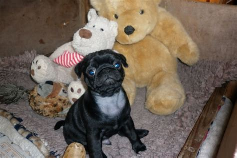 show quality pug puppies for sale black show quality pug puppies alfreton derbyshire pets4homes