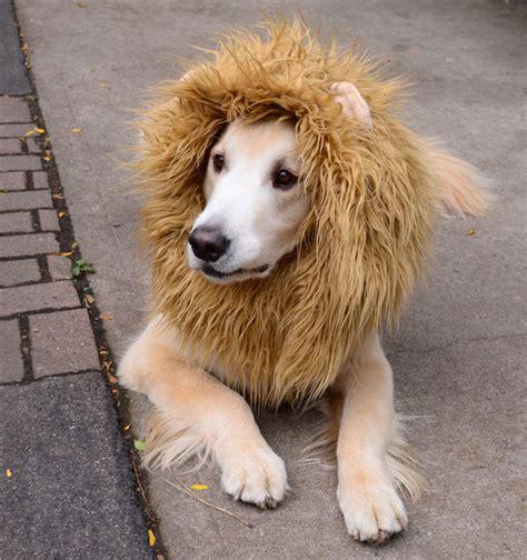 golden retriever mane costume costume