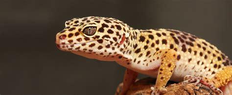 leoparden deko leopard gecko lehigh valley zoo