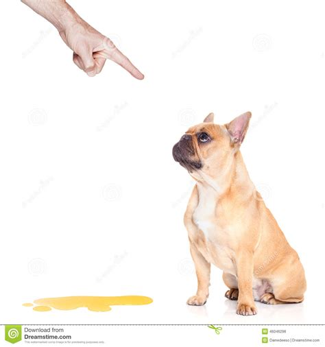 how to punish a dog for peeing in the house dog pee stock photo image 46046298